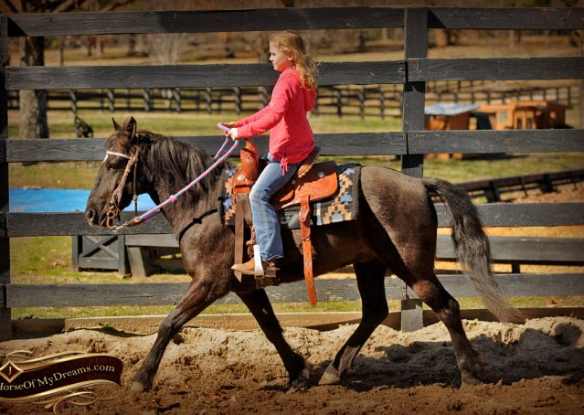005-Dash-Black-Pony-Gelding-For-Sale