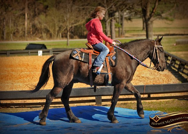 009-Dash-Black-Pony-Gelding-For-Sale