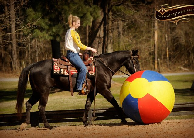 013-Coal-Black-Quarter-horse-gelding-for-sale