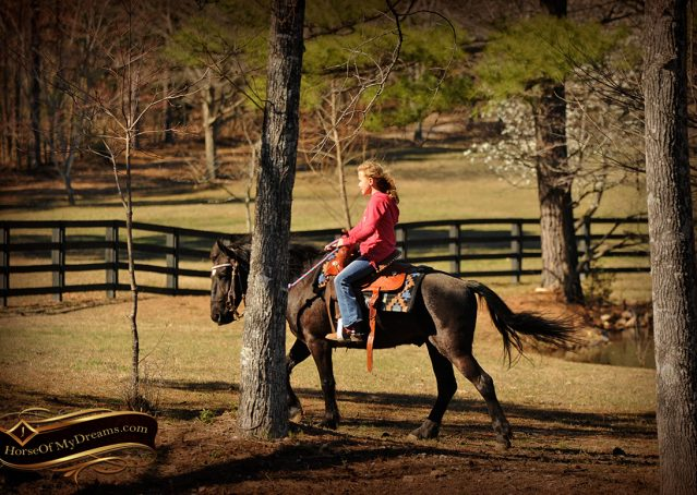 016-Dash-Black-Pony-Gelding-For-Sale