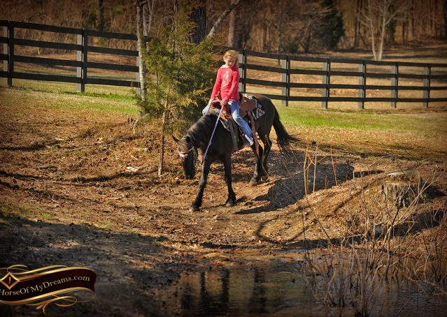 017-Dash-Black-Pony-Gelding-For-Sale