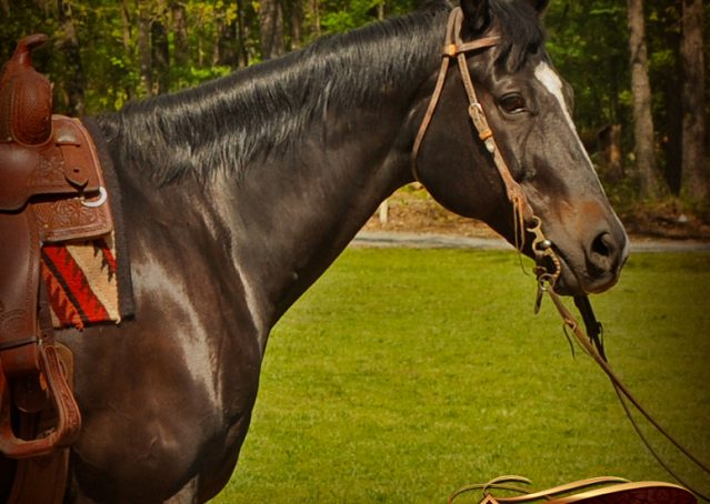 002-Chip-Bay-AQHA-Gelding-For-Sale