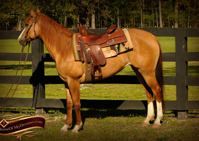 002-DeeDee-Red-Dun-APHA-Mare-For-Sale