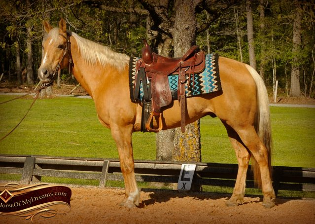 002-Regent-Palomino-Quarter-Horse-Gelding-For-Sale