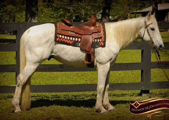 002-Silver-Gray-AQHA-Gelding-For-Sale