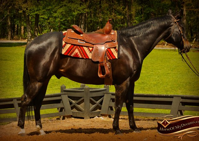 003-Chip-Bay-AQHA-Gelding-For-Sale