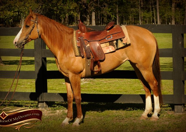 003-DeeDee-Red-Dun-APHA-Mare-For-Sale