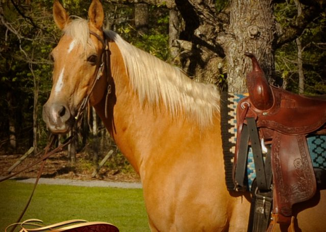 003-Regent-Palomino-Quarter-Horse-Gelding-For-Sale