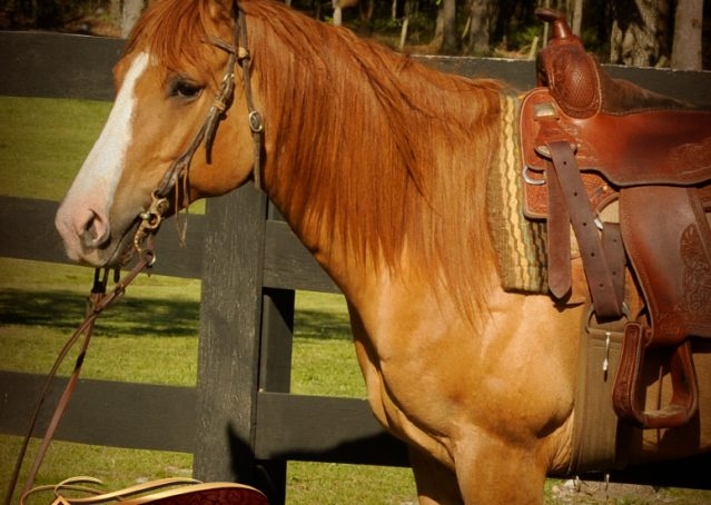 004-DeeDee-Red-Dun-APHA-Mare-For-Sale