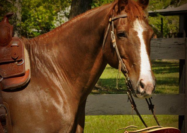 001-Ollie-Sorrel-Quarter-Horse-Gelding-For-Sale