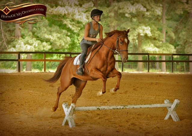 002-Sparkles-Sorrel-AQHA-Mare-For-Sale