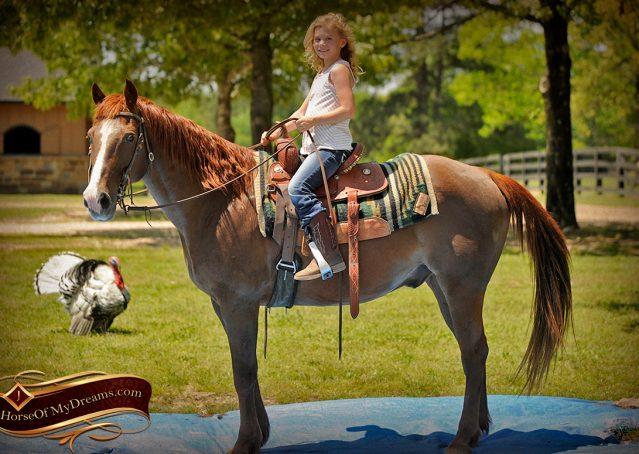 014-Ollie-Sorrel-Quarter-Horse-Gelding-For-Sale