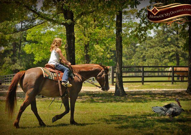 015-Ollie-Sorrel-Quarter-Horse-Gelding-For-Sale