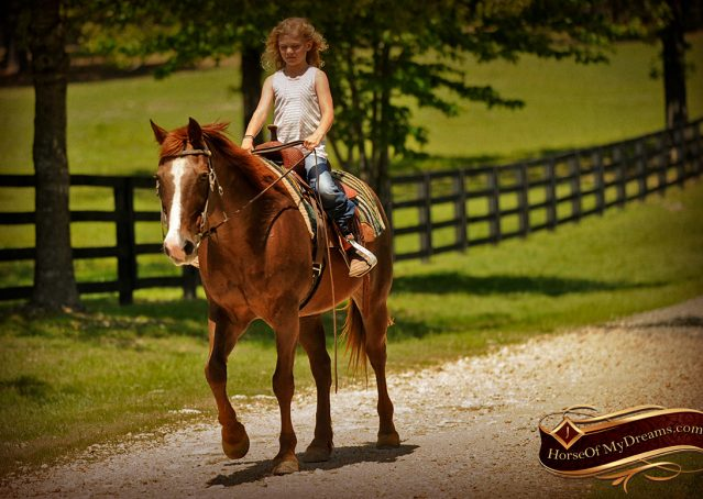 017-Ollie-Sorrel-Quarter-Horse-Gelding-For-Sale
