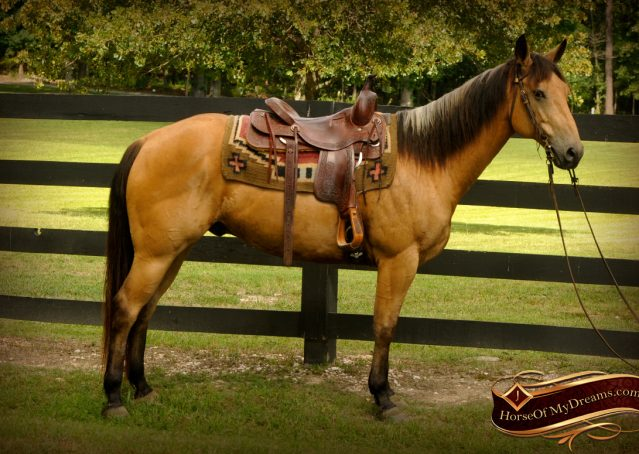 020-Bert-Buckskin-AQHA-Gelding-For-Sale