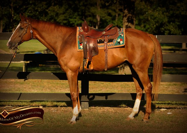 001-Jasper-Chestnut-Apendix-Gelding-For-Sale