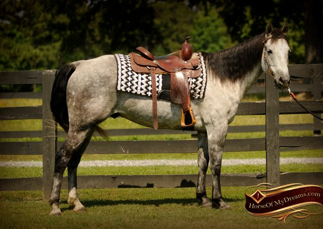 001-Milagro-Gray-AQHA-Gelding-For-Sale