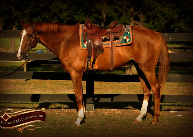 002-Jasper-Chestnut-Apendix-Gelding-For-Sale