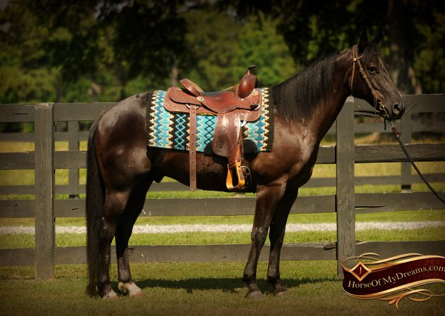 002-Jett-Black-Quarter-Horse-Gelding-For-Sale