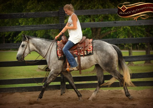 002-Steele-Gray-Quarter-Horse-Gelding-For-Sale