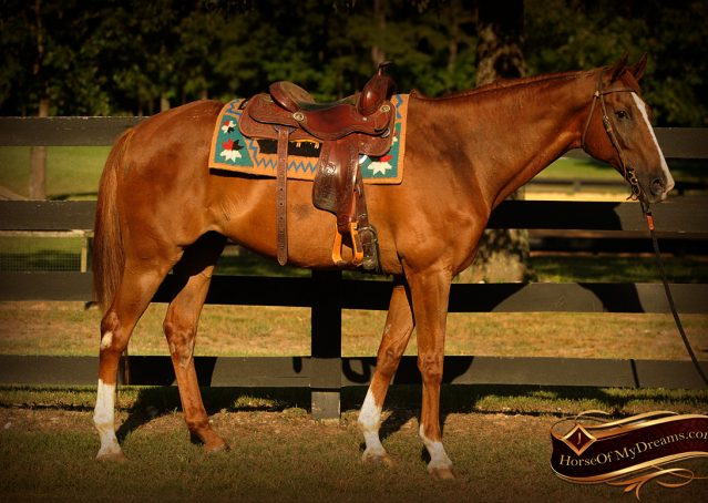 003-Jasper-Chestnut-Apendix-Gelding-For-Sale