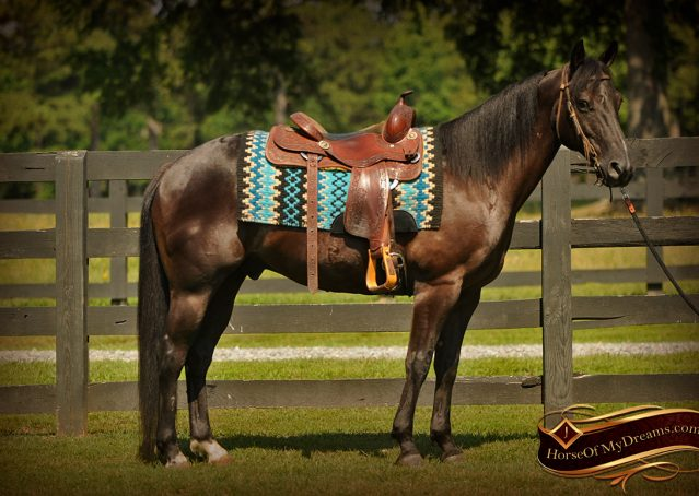 003-Jett-Black-Quarter-Horse-Gelding-For-Sale