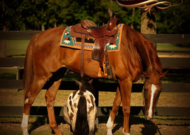 004-Jasper-Chestnut-Apendix-Gelding-For-Sale
