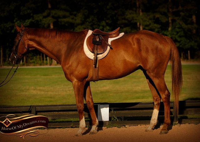 005-Jasper-Chestnut-Apendix-Gelding-For-Sale