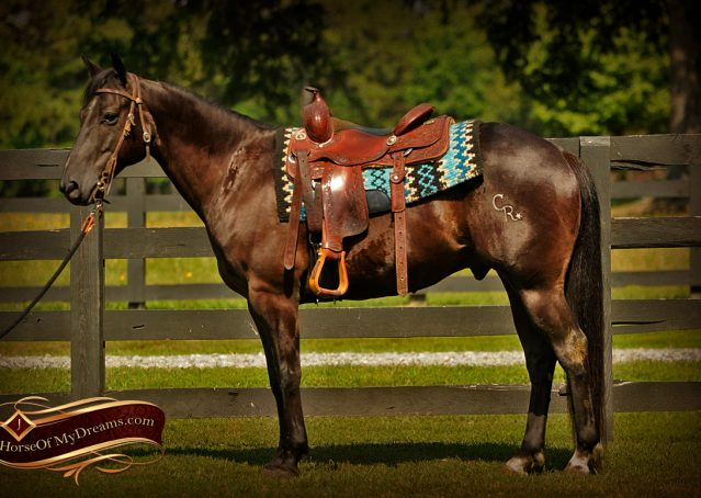 005-Jett-Black-Quarter-Horse-Gelding-For-Sale