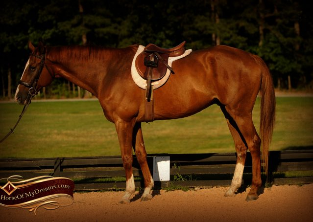 006-Jasper-Chestnut-Apendix-Gelding-For-Sale