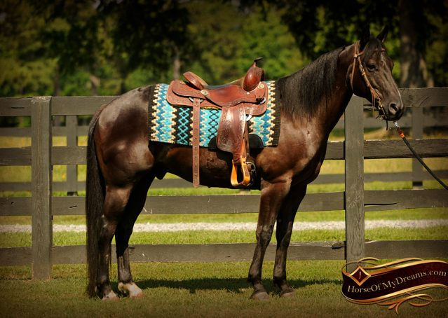006-Jett-Black-Quarter-Horse-Gelding-For-Sale