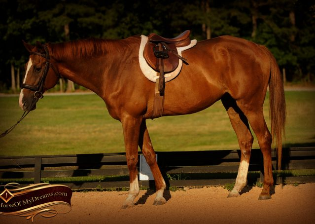 007-Jasper-Chestnut-Apendix-Gelding-For-Sale