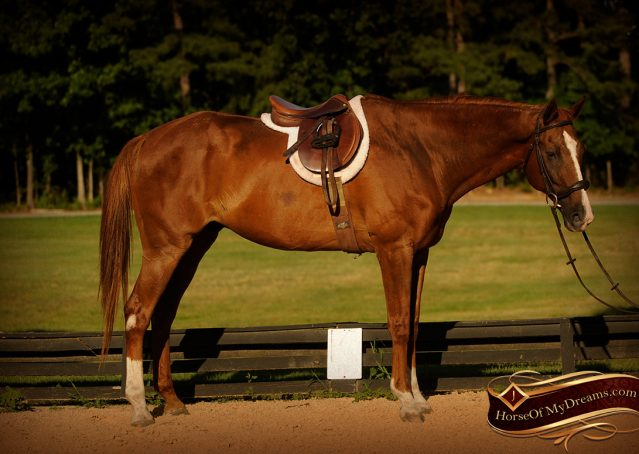 008-Jasper-Chestnut-Apendix-Gelding-For-Sale
