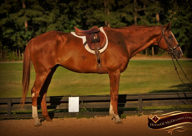 009-Jasper-Chestnut-Apendix-Gelding-For-Sale