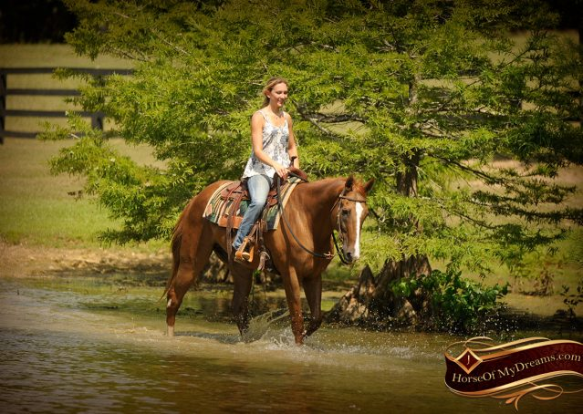 010-Jasper-Chestnut-Apendix-Gelding-For-Sale