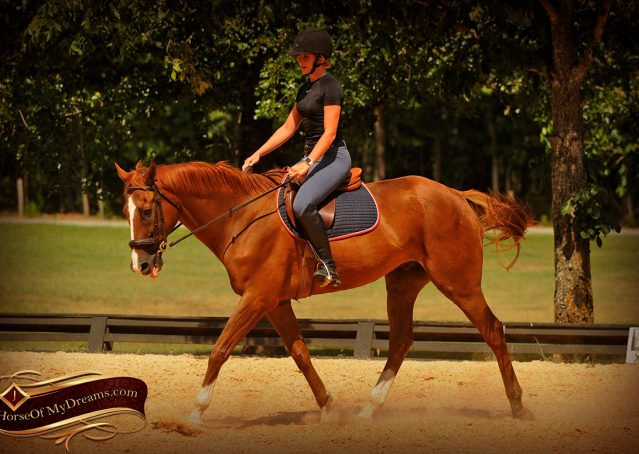 012-Jasper-Chestnut-Apendix-Gelding-For-Sale