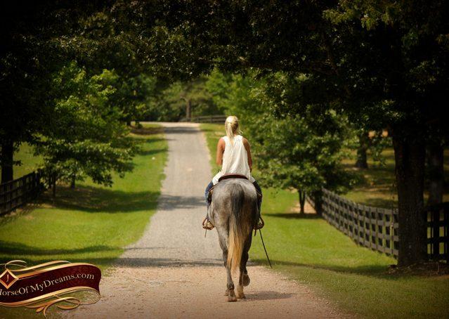 012-Steele-Gray-Quarter-Horse-Gelding-For-Sale