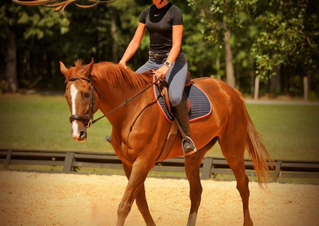 013-Jasper-Chestnut-Apendix-Gelding-For-Sale