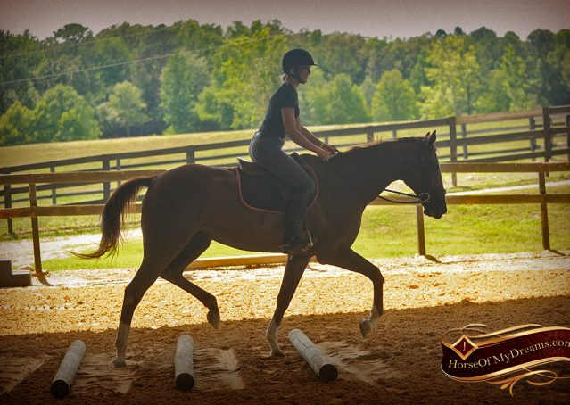 014-Jasper-Chestnut-Apendix-Gelding-For-Sale