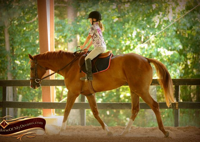 016-Jasper-Chestnut-Apendix-Gelding-For-Sale
