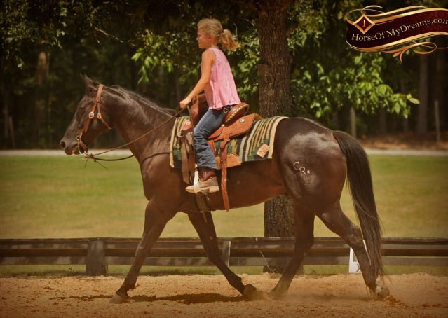 016-Jett-Black-Quarter-Horse-Gelding-For-Sale