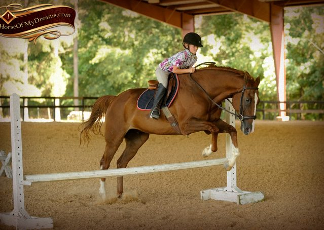 018-Jasper-Chestnut-Apendix-Gelding-For-Sale