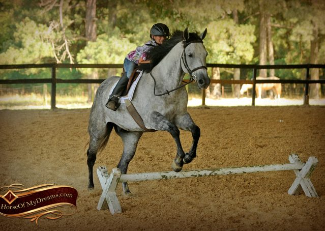 018-Milagro-Gray-AQHA-Gelding-For-Sale