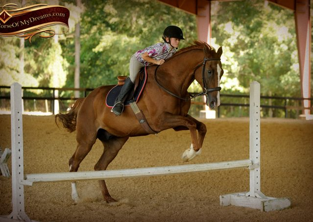 019-Jasper-Chestnut-Apendix-Gelding-For-Sale