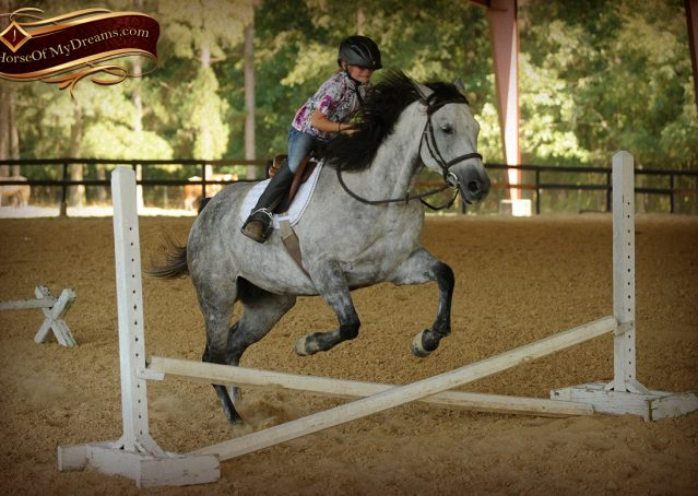 019-Milagro-Gray-AQHA-Gelding-For-Sale