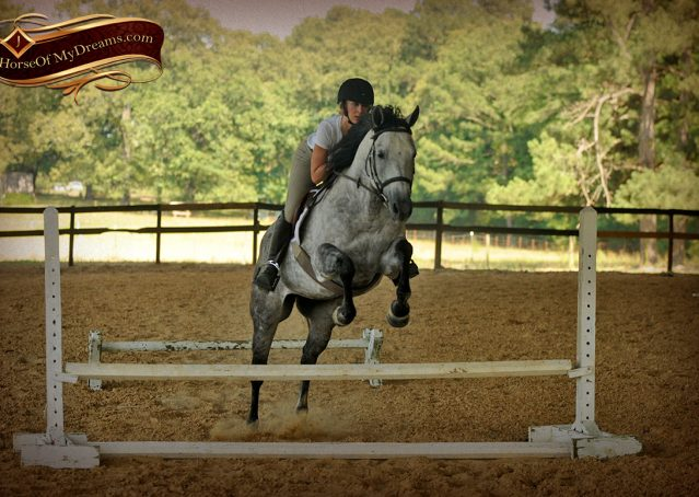 022-Milagro-Gray-AQHA-Gelding-For-Sale