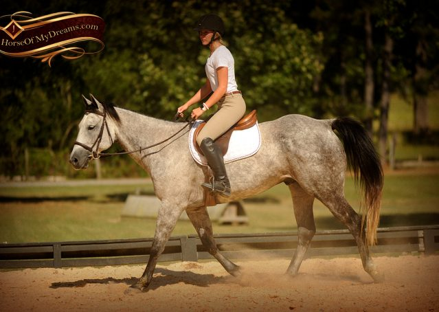 023-Milagro-Gray-AQHA-Gelding-For-Sale