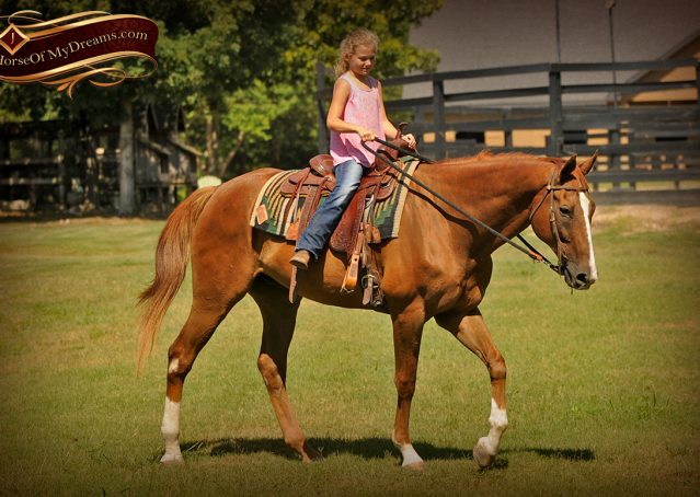 025-Jasper-Chestnut-Apendix-Gelding-For-Sale