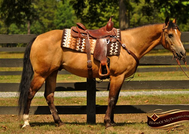 001-Murphy-Buckskin-Quarter-Horse-Gelding-For-Sale