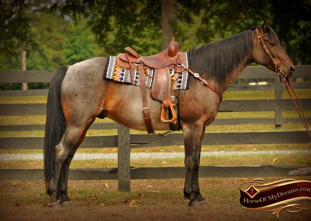 002-Harley-Blue-Roan-AQHA-Gelding-For-Sale
